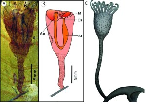 Figure 11 — Cotyledion tylodes fossil (A) and reconstructions (B–C) Adapted from Zhang et al. (2013). Ap, anal papilla; M, mouth; Es, esophagus; St, distended stomach. Note that the entire body is covered in oval sclerites, like that of Eccentrotheca (Fig. 10A).