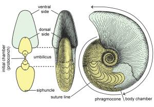 Figure 1 — Morphology and terminology of the ammonoid conch (modified after Arkell 1957; Korn and Klug 2002). Far left showing section across midline.