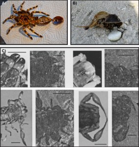Figure 5 — Moulting in chelicerate animals. A: empty moult of a tarantula, showing the carapace flipped forward. Image credit: Frosted Peppercorn (Flickr). B: Horseshoe crab carcass (right) having just emerged from the old exoskeleton on the left. Image credit: Wikimedia Commons. C. Counting from the top left, 1 and 5 are moults from living scorpions that show extension of the chelicerae and pedipalps respectively, and 2 and 6 show the same in fossil scorpion moults. 3 and 7 are carcasses of living scorpions that show retraction of the chelicerae and pedipalps respectively, while 4 and 8 show the same in fossilised scorpion carcasses. From figures 7-10 and 15-18 of McCoy & Brandt (2009).