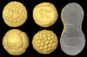 Figure 3 - Computer reconstructions of Doushantuo fossils. On the left are four embryo-like specimens, on the right is a peanut-shaped form with tens of thousands of cells.