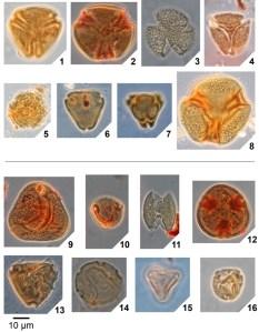 Figure 5 - Pollen and spores from Mississippi and Alabama, United States, representing plant types that either went extinct (1–8) or first appeared (9–16) at the Paleocene–Eocene boundary. 1, Holkopollenites chemardensis; 2, Lanagiopollis cribellata; 3, Retitrescolpites anguloluminosus; 4, Insulapollenites rugulatus; 5, Spinaepollis spinosus; 6, Momipites strictus; 7, Trudopollis plenus; 8, Lanagiopollis lihoka; 9, Granulatisporites luteticus; 10, Brosipollis striata; 11, Dicolpopollis sp.; 12, Intratriporopollenites instructus; 13, Symplocos contracta; 14, Celtis tschudyi; 15, Interpollis microsupplingensis; 16, Platycarya platycaryoides.