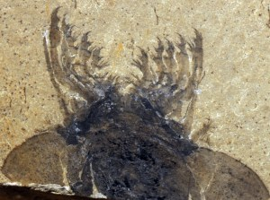 Figure 4 — The 'claws' of Sanctacaris uncata, from the Burgess Shale, Canada (courtesy of Royal Ontario Museum, holotype ROM 43502).