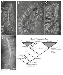 Figure 5 — Cambrian fossil polychaetes and their relationships. A, Phragmochaeta canicularis, Geological Museum of Copenhagen MGUH 30888, scale bar 1.5 mm; B, Burgessochaeta setigera, Smithsonian Museum of Natural History 198705, scale bar 2 mm; C, Canadia spinosa, SMNH57654, scale bar 2 mm; D, Pygocirrus butyricampum, MGUH 29288, showing pygidial cirri, scale bar 5 mm.