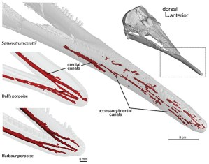 Figure 4 — Long sensory canals in the lower jaw of Semirostrum ceruttii, found using CT data, compared with the unspecialized jaws of two extant species. Only the canals in the right side of the jaw are rendered. Modified from Racicot et al. 2014 (Current Biology).