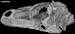 Figure 4 — A CT scan of the skull of a dinosaur (Eoraptor).