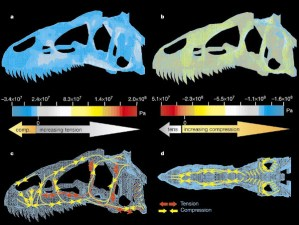Figure 5 — FEA of a dinosaur skull (Allosaurus) modelling the distribution of stresses during biting. Source: Rayfield, E. J., Norman, D. B., Horner, C. C., Horner, J. R., Smith, P. M., Thomason, J. J. & Upchurch, P. 2001. Cranial design and function in a large theropod dinosaur. Nature 409, 1033–1037. doi:10.1038/35059070
