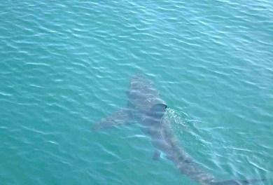 A Chiatona avvistato uno squalo lungo circa due metri e mezzo