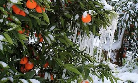 Neve, gelo e risarcimento dei danni agli agricoltori