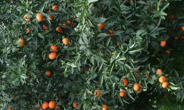 Taranto, agrumi invenduti e arrivano arance dal Sudafrica