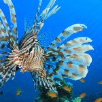 Lion fish in el Nido Philippines