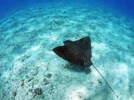 eagle ray in-clear-waters-philippines