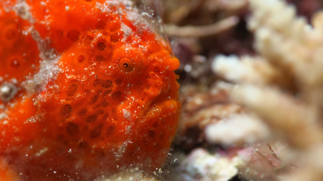Marine Life in El Nido - The Frogfish