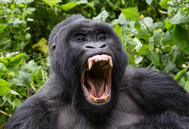 Gorillas Canines