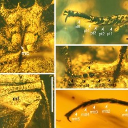 Just out | A new genus of Brochocoleini beetle in Upper Cretaceous Burmese amber (Coleoptera: Archostemata: Ommatidae) @ Cretaceous Research