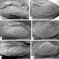 Just out   Hypoanthraconaia: a new genus of non-marine bivalve molluscs from the Early Permian of Far East Russia @ PalZ