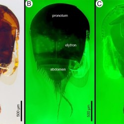 On the News | 99-million-year-old termite-loving thieves caught in Burmese amber @ EurekAlert!