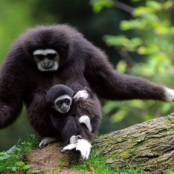 On the News   India   Discovery in Sivalik hills seen as fresh evidence of extinct ancestor of gibbon @ The Telegraph India