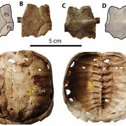 Just out | New findings of Pleistocene fossil turtles (Geoemydidae, Kinosternidae and Chelydridae) from Santa Elena Province, Ecuador @ PeerJ