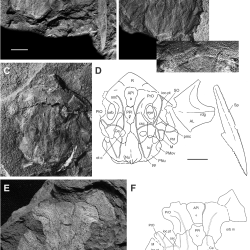 Just out | New morphological information on, and species of placoderm fish Africanaspis (Arthrodira, Placodermi) from the Late Devonian of South Africa @ PLOS one