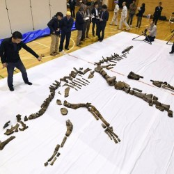 On the News | Japan | Japan's largest fossilized dinosaur skeleton unearthed in Hokkaido @ The Japan Times