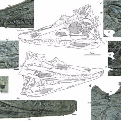 Just out   A Short-Snouted, Middle Triassic Phytosaur and its Implications for the Morphological Evolution and Biogeography of Phytosauria @ Nature Scientific Reports
