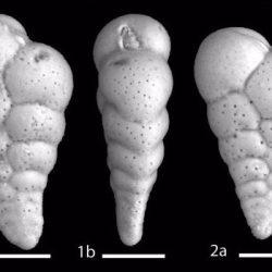 Just out | The Neogene genus Streptochilus (Brönnimann and Resig, 1971) from the Gulf of California @ Marine Micropaleontology