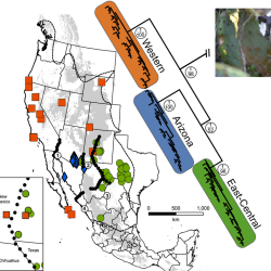 Just out | Phylogeography of a widespread small carnivore, the western spotted skunk (Spilogale gracilis) reveals temporally variable signatures of isolation across western North America @ Ecology & Evolution