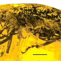 Just out | Five new species from the subfamily Entiminae (Coleoptera: Curculionidae) in Dominican amber @ Palaeontologia Electronica
