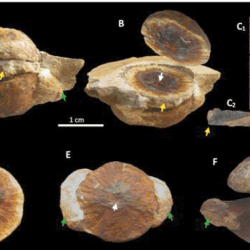 Just out | An Akouemma hemisphaeria Organic Macrofossils Colony Hosting Biodiversity Assemblage on the Seafloor of Okondja Basin (Gabon) dated at 2.2 Ga @ Journal of Geology & Geophysics