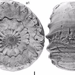 Just out | A revision of some British Lower Bajocian stephanoceratid ammonites @ Proceedings of the Geologists' Association
