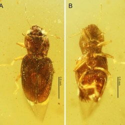 Just out | Discovery of the first hydraenid beetle in amber, with description of a new genus and species (Coleoptera: Staphylinoidea: Hydraenidae) @Cretaceous Research