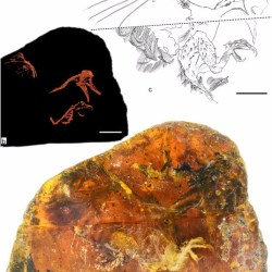 Just out | A mid-Cretaceous enantiornithine (Aves) hatchling preserved in Burmese amber with unusual plumage @ Gondwana Research
