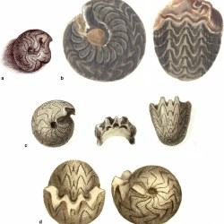 Just out | Goniatites sphaericus (Sowerby, 1814), the archetype of Palaeozoic ammonoids: a case of decreasing phenotypic variation through ontogeny @ PalZ