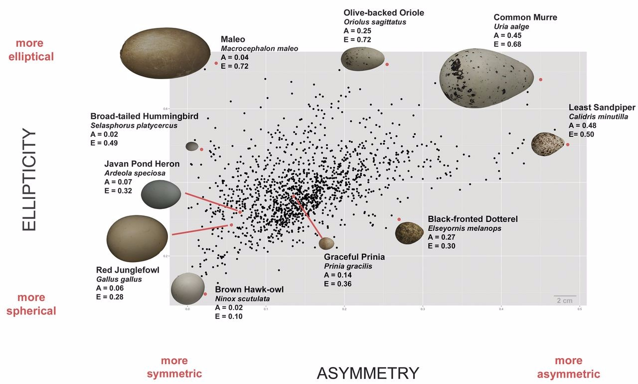 Just out | Avian egg shape: Form, function, and evolution @ Science