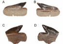 Just out | A new species of the genus Echinorhinus (Chondrichthyes, Echinorhiniformes) from the upper cretaceous of southern South America (Argentina-Chile) @ Cretaceous Research