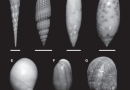 Just out | Life in the arena: infaunal gastropods and the late Phanerozoic expansion of marine ecosystems into sand @ Palaeontology