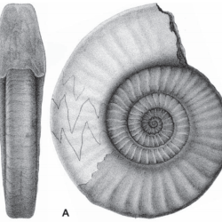 Just out | The genus Gonioclymenia (Ammonoidea; Late Devonian) in Central Europe @ Neues Jahrbuch für Geologie und Paläontologie - Abhandlungen