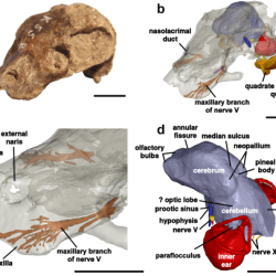Just out | Evidence for convergent evolution of a neocortex-like structure in a late Permian therapsid @ Journal of Morphology