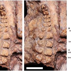 Just out | A new gomphodont cynodont (Traversodontidae) from the Middle–Late Triassic Dinodontosaurus Assemblage Zone of the Santa Maria Supersequence, Brazil @ Palaeontology