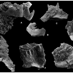 Just out | Testing hypotheses of element loss and instability in the apparatus composition of complex conodonts: articulated skeletons of Hindeodus @ Palaeontology