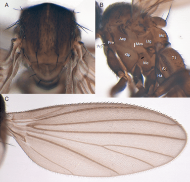 Just out | Puyehuemyia chandleri, gen. nov., sp. nov. (Diptera, Opetiidae): remnant of a Cretaceous biota in Chile @American Museum Novitates