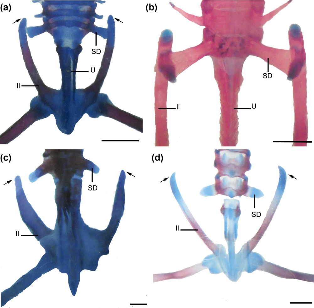 Just out | Comparative anatomy and development of pectoral and ...