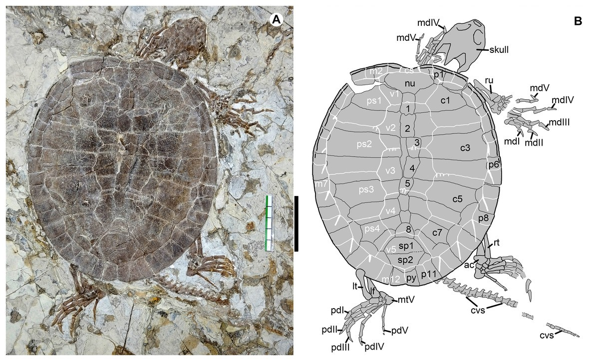 Just out | Hyperphalangy in a new sinemydid turtle from the Early Cretaceous Jehol Biota @ PeerJ