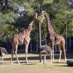 Murió Jacki, la jirafa del zoo porteño