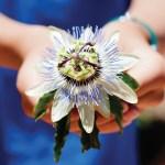 06-revere agri-passion flower