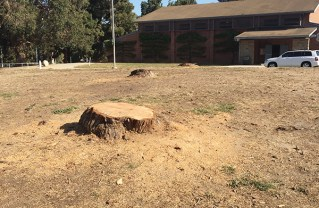 Dead Pines Chopped Down at Rec Center