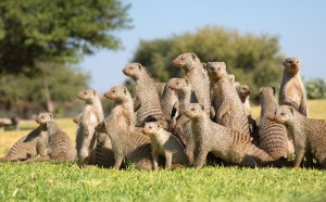 21-mongooses