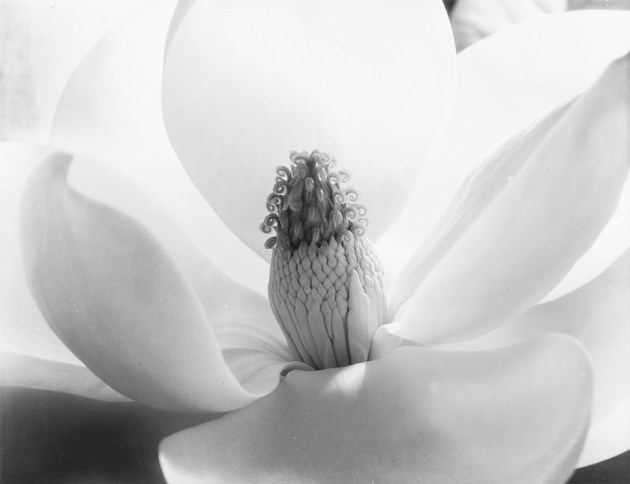 Magnolia Blossom, 1925. Photograph by Imogen Cunningham. ©1925, 2016, Imogen Cunningham Trust, imogencunningham.com