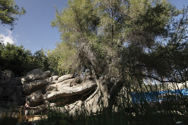 The Coastal Oak is the focal point of the Autry Native Garden. The acorn was the most important food source for the Tongva, superior to corn and wheat for its fat and fiber content.