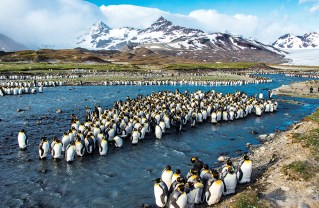Thousands of king penguins congregate along the shores of St. Andrews Bay, a small curve in the coastline of South Georgia. Photo: Ray Juncosa
